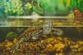 Turtle in an aquarium the small floats Stock Images