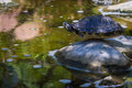 Turtle balancing on a rock portrait of by the pond Stock Photo