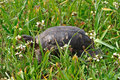 Turtle among blooming wild flowers and green grass spring background Stock Photography