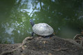 Turtle from central of thailand class reptilia Royalty Free Stock Photos
