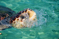 Turtle coming out of the water Royalty Free Stock Photo