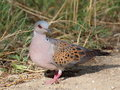 Turtle dove Stock Image