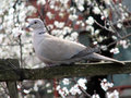 Turtle dove a sits among the flowers of apricot Royalty Free Stock Photography