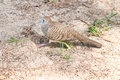 Turtle dove striding image of a scientific name geopelia striata walking on the ground in its quest for food Royalty Free Stock Photos