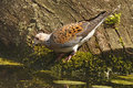 Turtle dove the is a summer visitor to england and is more common in southern europe and in winter further south in africa Stock Image
