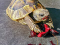 TURTLE EATING CHERRY. Royalty Free Stock Photo
