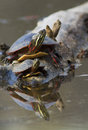 Turtle family reflection painted chrysemys picta Royalty Free Stock Photography
