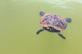 Turtle floats on water the of the lake Royalty Free Stock Image