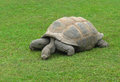 Turtle on the green grass Royalty Free Stock Image