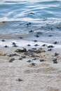 Turtle hatchlings taking their first steps down the beach and into the ocean Stock Image