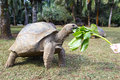 Turtle on the island of mauritius the reptile is eating some plants from a human hand Stock Photo