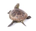 Turtle isolated Royalty Free Stock Photo