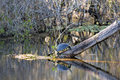 Turtle on a log reflection in the water this was sunning itself lake six mile cypress slough preserve florida turtles are Royalty Free Stock Images