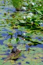 Snapping Turtle Sunning Himself on a Log in a Pond Surrounded by Water Lilies and Lily Pads Royalty Free Stock Photo