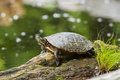 Turtle painted in spring chrysemys picta Royalty Free Stock Image