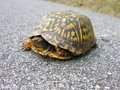 Turtle in the road Royalty Free Stock Photo