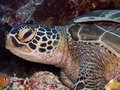 Turtle sea turtles superfamily chelonioidea or marine turtles are turtles that inhabit all of the world s oceans except the arctic Stock Photos
