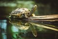 Turtle sitting on branch reflection in water young Stock Images