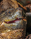 Turtle snapping close up with mouth open ready to bite Stock Photo