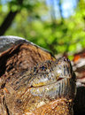 Turtle snapping close up in the woods on the forest floor Royalty Free Stock Images