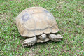 Turtle stand on the grass Stock Photo
