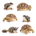 Turtle and Sugar Glider on white background Royalty Free Stock Photo