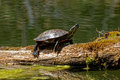 Turtle sunning on a log painted suns itself these small turtles can be found themselves when the weather gets warmer this image Royalty Free Stock Photography