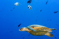 Turtle swimming on the blue ocean Royalty Free Stock Photo
