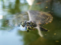 Turtle swimming in a lake Stock Images