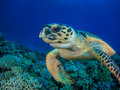 Turtle swimming over coral reef close-up Royalty Free Stock Photo