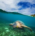 Turtle swimming on the sea bottom Royalty Free Stock Photo