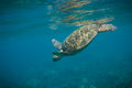 Turtle swimming underwater in tropical hawaii Royalty Free Stock Photography