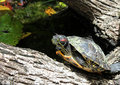 The turtle swims i in water in wild Stock Images