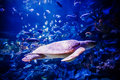 Turtle in tank view of a big aquarium Stock Photography