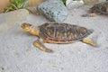 Turtle Taxidermy