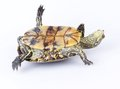 Turtle upside down Royalty Free Stock Images