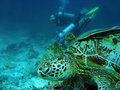 Turtle watching scuba divers sipadan borneo Royalty Free Stock Images