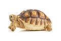 Turtle on white background Royalty Free Stock Photo