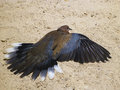 Turtledove on the beach Royalty Free Stock Photo