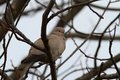Turtledove in the tree in winter streptopelia decaocto on a day Royalty Free Stock Photography