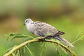 Turtledove on willow perched branch over green out of focus background streptopelia decaocto Stock Image