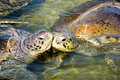 Turtles Royalty Free Stock Photo
