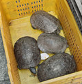 Turtles in a box Stock Images