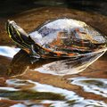 Turtles found in pond of taking notice of clear reflection Royalty Free Stock Photography