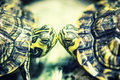 Turtles kiss a between my shifu and shiatsu Royalty Free Stock Photos