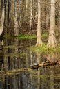 Turtles on a log in a cypress swamp Royalty Free Stock Photo