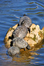 Turtles on log in water Stock Image