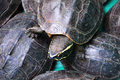 Turtles in the market asian local Stock Image