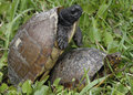 Turtles mating two in the grass Royalty Free Stock Photography