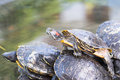 Turtles the photo shows freshwater Royalty Free Stock Photo